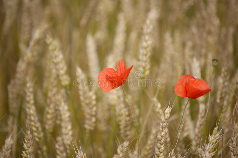 Two poppies in a field. Two poppy flowers in a corn field royalty free stock image