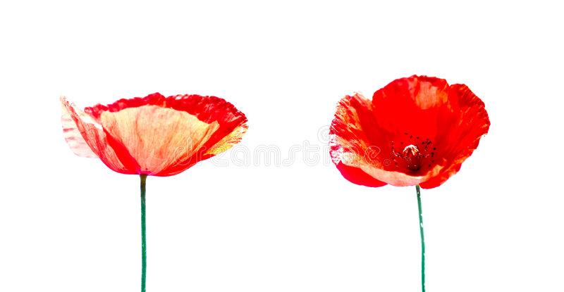 Two poppies isolated on white background stock photography