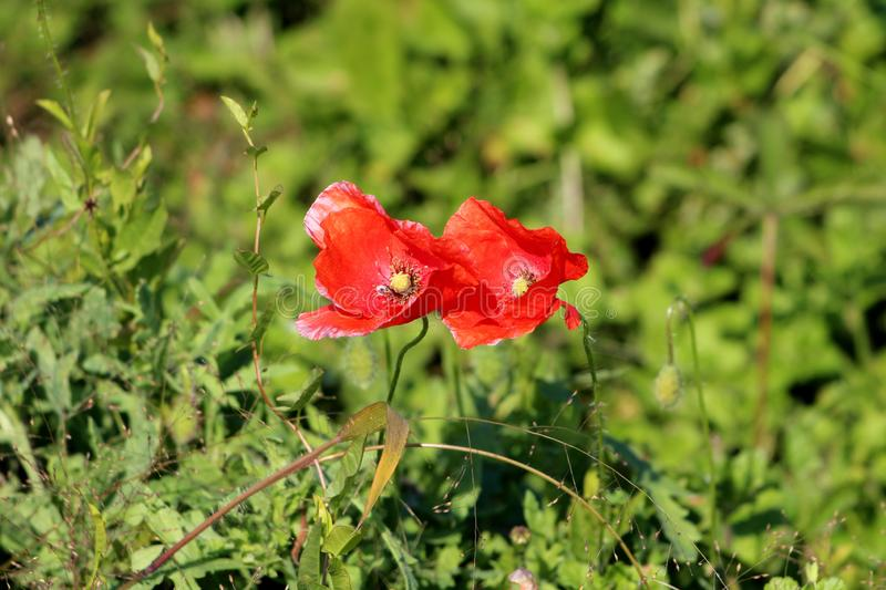 Two Poppy herbaceous flowering plants with bright red fully open flowers pointing towards sun with green leaves and other plants. In background on warm sunny royalty free stock images