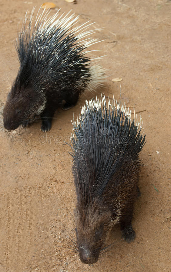 Two Porcupines Royalty Free Stock Image