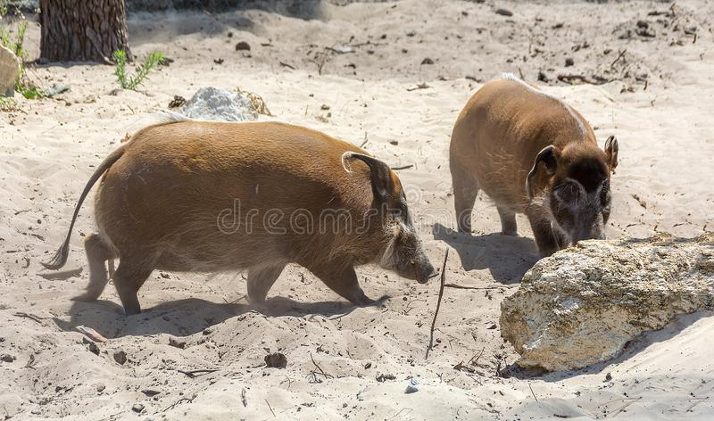 Two potamochoerus porcus The red river hog, also known as the bush pig stock photos