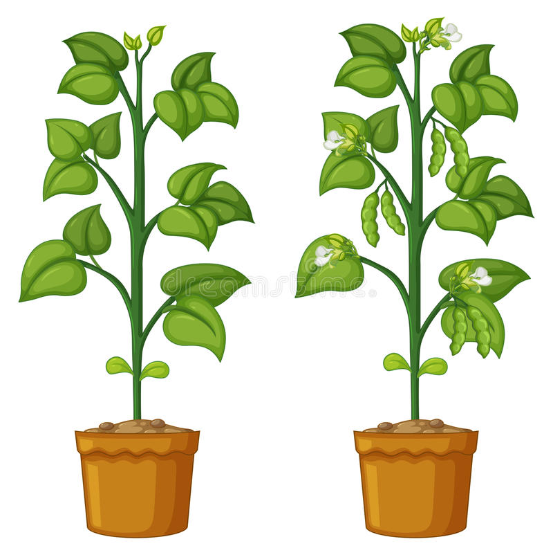 Free Two Potted Plants With Beans Stock Photos - 98813843