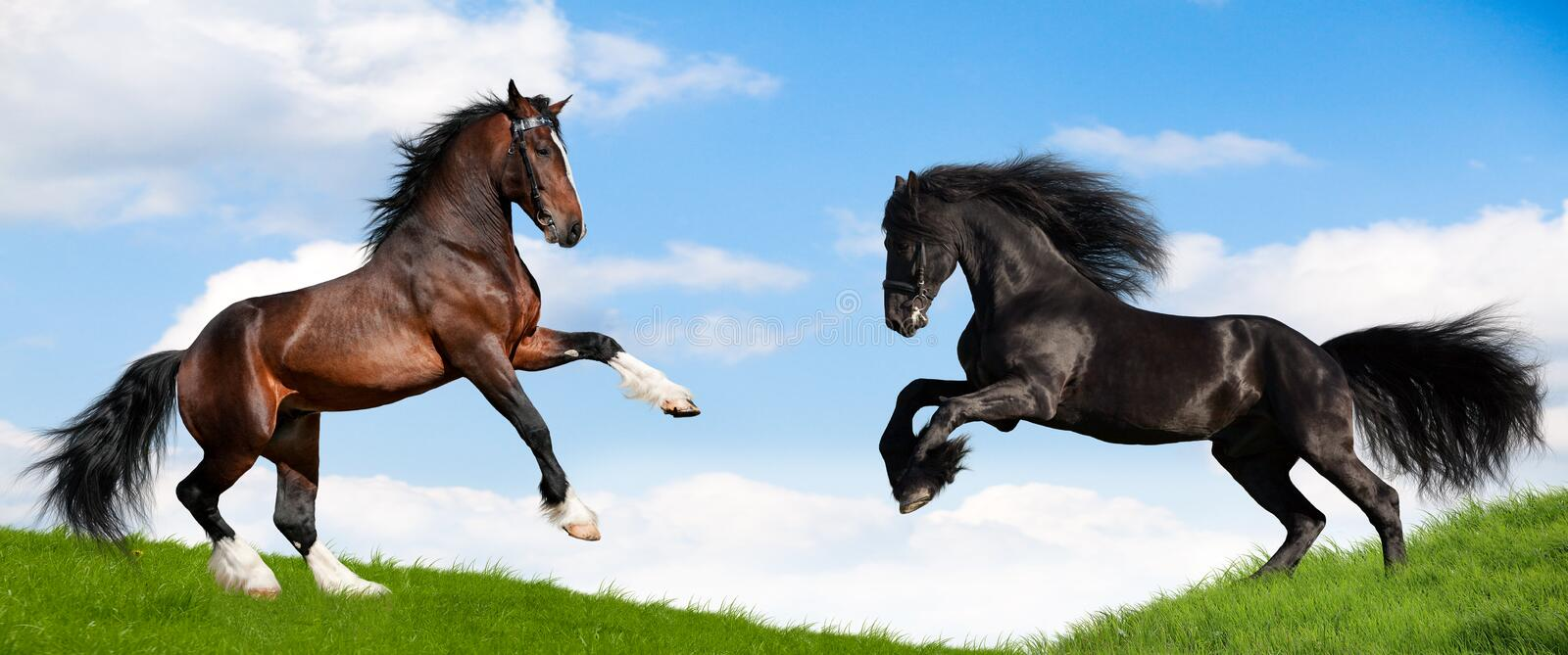 Two powerful horse runs gallop in field. royalty free stock image