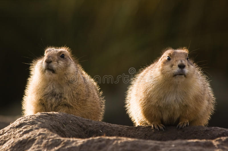 Download Two prairie dogs stock image. Image of furr, mammal, rodent - 12431417