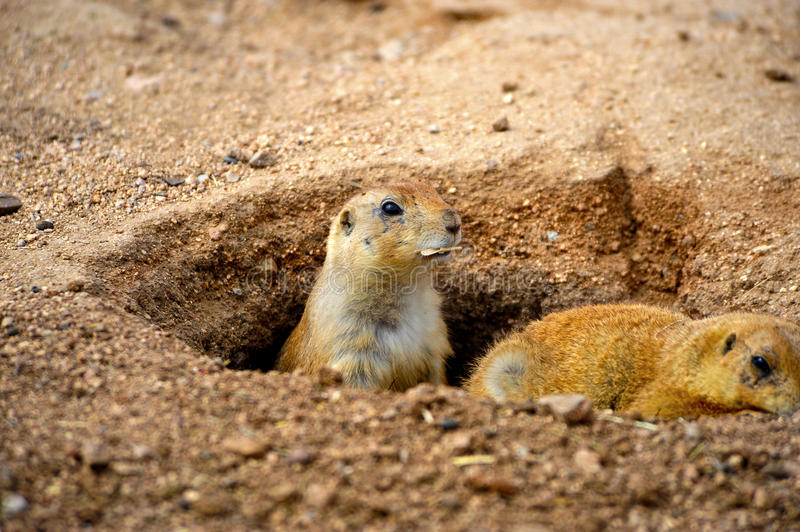 Two Prairie Dogs. Looking out of their hole stock image
