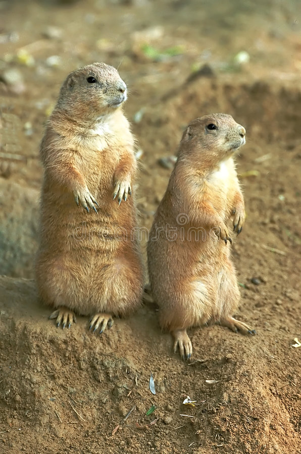Two prairie dogs stock photography