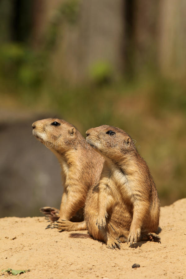 Two prairie dogs looking to the left royalty free stock photography