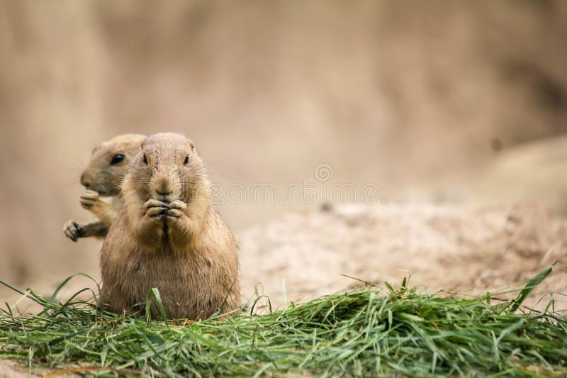 Two prairie dogs, small rodent, eating royalty free stock photography