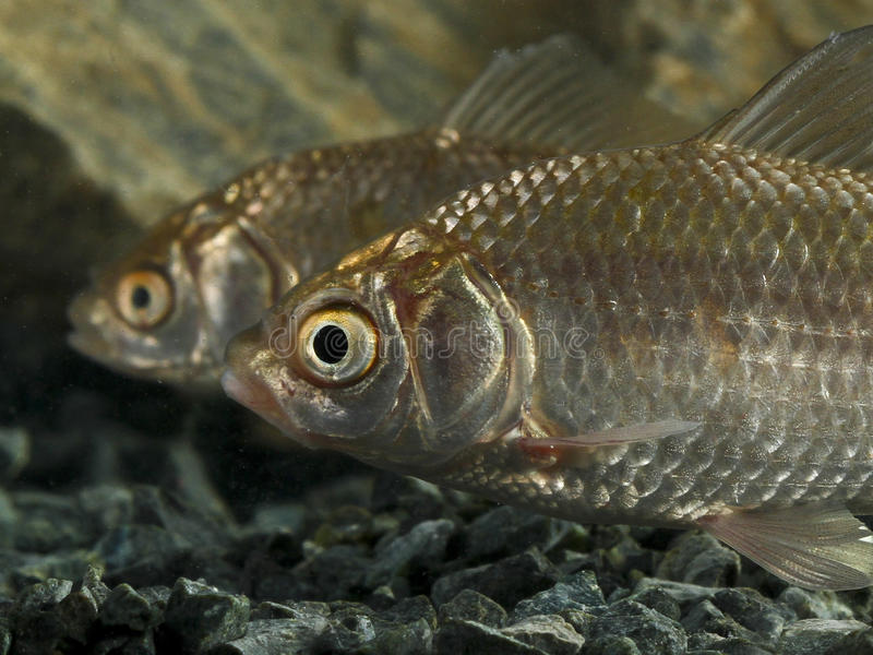 Two Prussian carp, Carassius gibelio royalty free stock photography