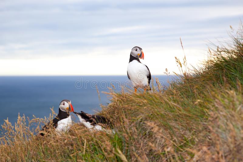 Two puffin birds  against sea at sunset in Iceland. Two puffin birds sittin in grass against sea at sunset in Iceland. Bird cliff Latrabjarg stock photography