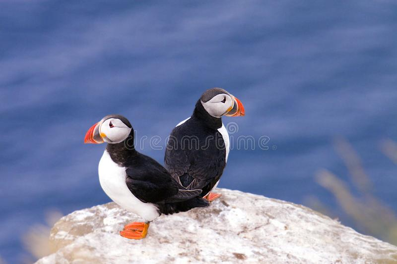 Download Two Puffins stock photo. Image of arctic, seabirds, puffin - 3001956