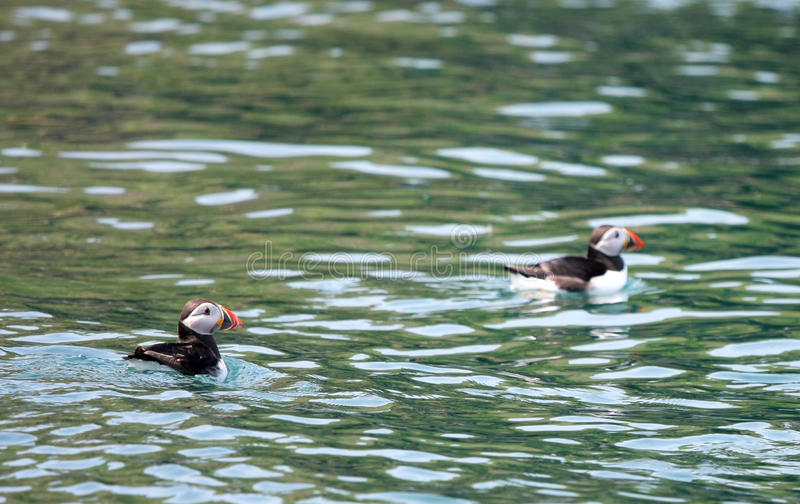 Two Puffins in the Atlantic Ocean