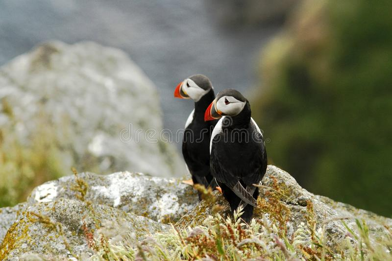 Two puffins sitting on cliff, bird in nesting colony, arctic black and white cute bird with colouful beak, bird on rock stock images