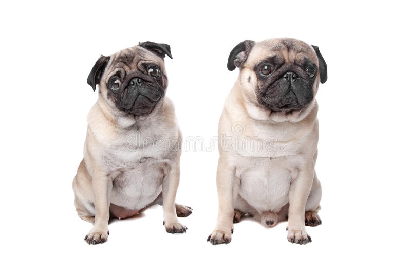 Download Two pug dogs stock photo. Image of couple, bulldog, over - 24386984