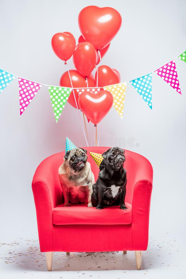Two pugs dogs with birthday decorations. Two little pugs, one black, the other beige, wearing birthday hats, sitting on a red chair with red heart-shaped stock image