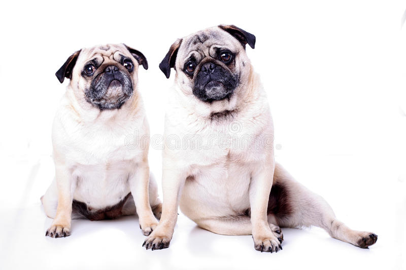 Two Pugs Together Stock Photography
