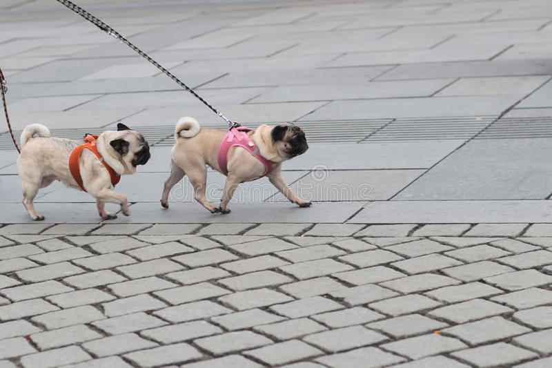 Two pugs walked on lead royalty free stock photos