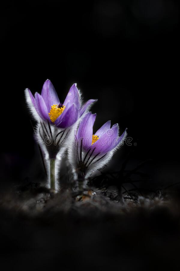Free Two Pulsatilla Flowers Isolated On Black Bachground, Backlight Royalty Free Stock Photo - 213954585