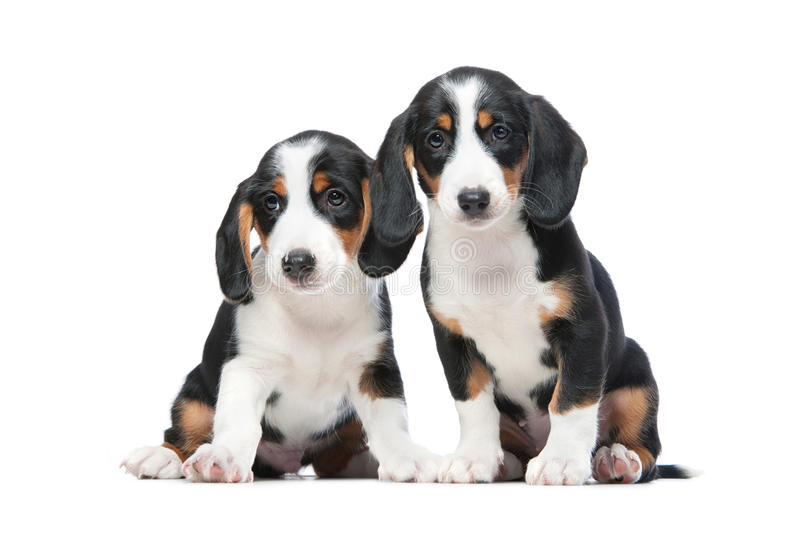Download Two puppies stock image. Image of alone, doggy, obedient - 28453479