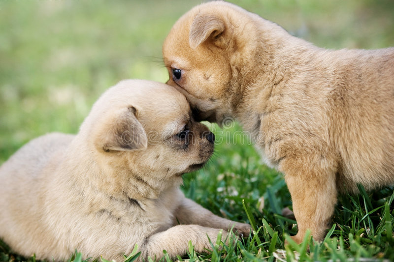 Two puppies. Two cute puppies playing in the grass
