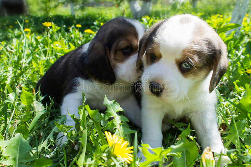 Two puppies Beagle sitting in the grass stock image