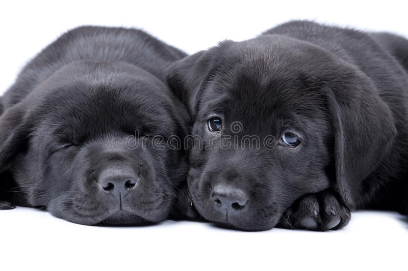 Two puppies black labrador stock images