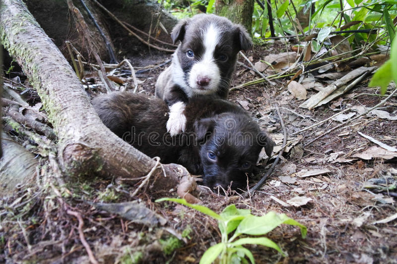 Two puppies with blue eyes in the wood stock photography