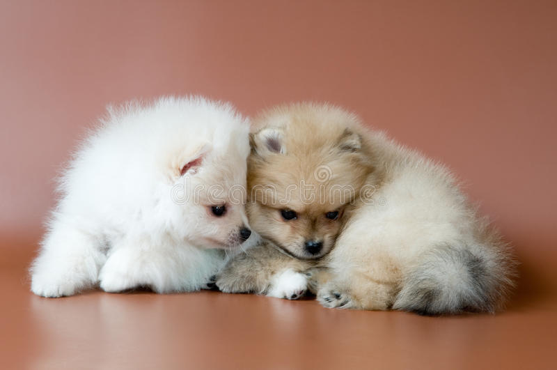 Two puppies of breed a spitz-dog. In studio stock photo