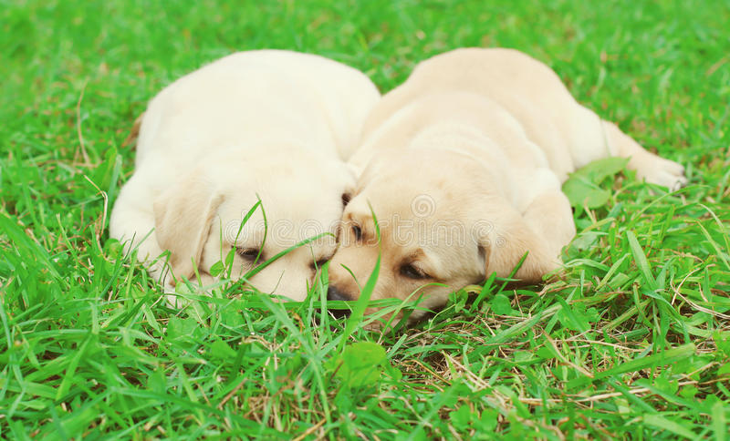 Two puppies dogs Labrador Retriever lying together royalty free stock photography