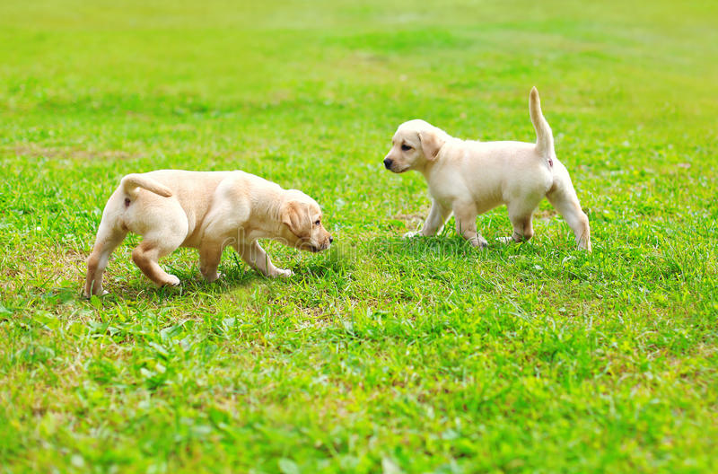 Two puppies dogs Labrador Retriever playing together outdoors stock photography