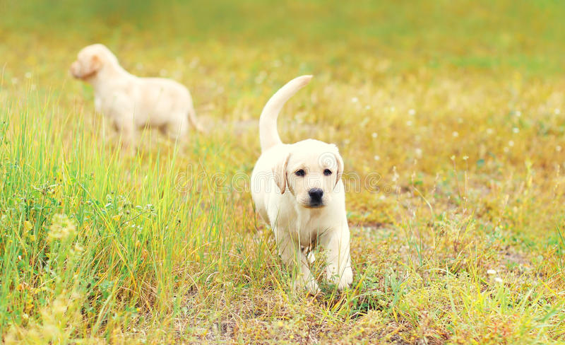 Two puppies dogs Labrador Retriever is running together outdoors on grass stock image