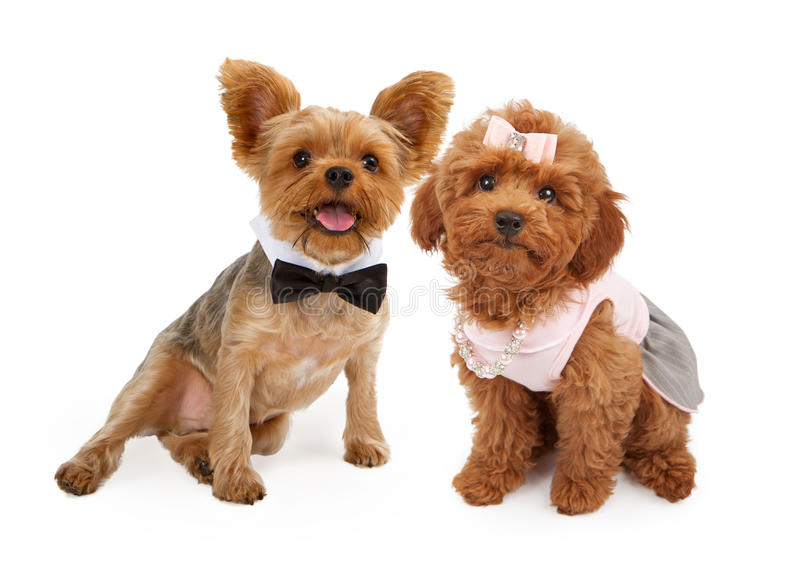 Two Puppies Dressed Up for a Party royalty free stock photo