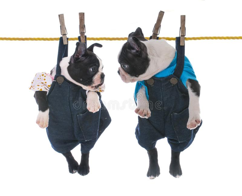 Two puppies hanging on the clothesline. Two boston terrier pups hanging on the clothes line on white background royalty free stock photography