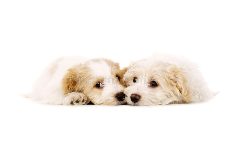 Download Two Puppies Laid Isolated On A White Background Stock Image - Image: 28900383