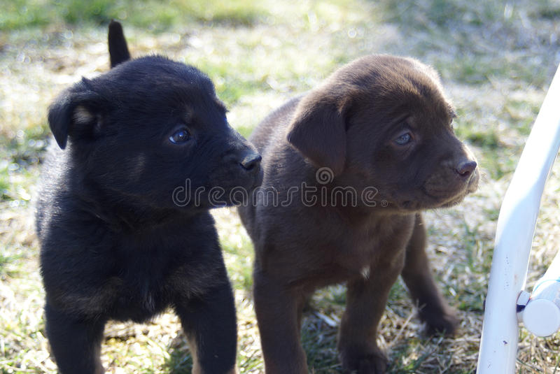 Two puppies stock images