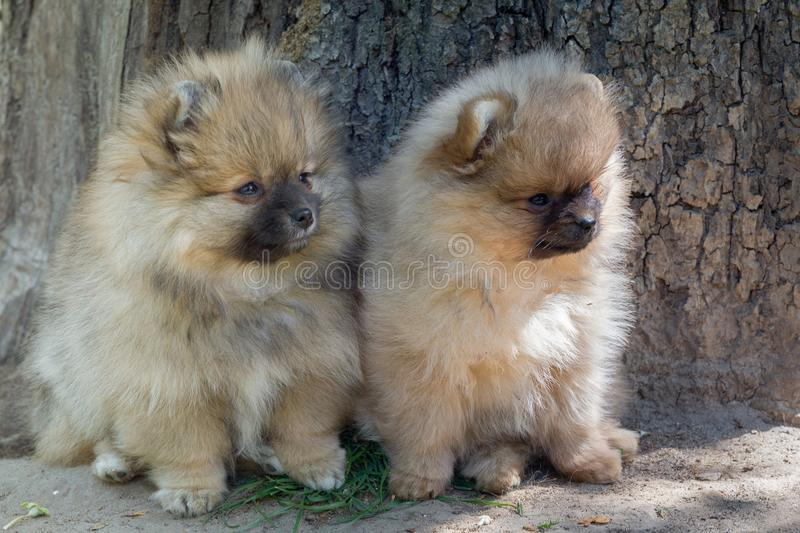 Two puppies of pomeranian dog playing outdoor. stock photo