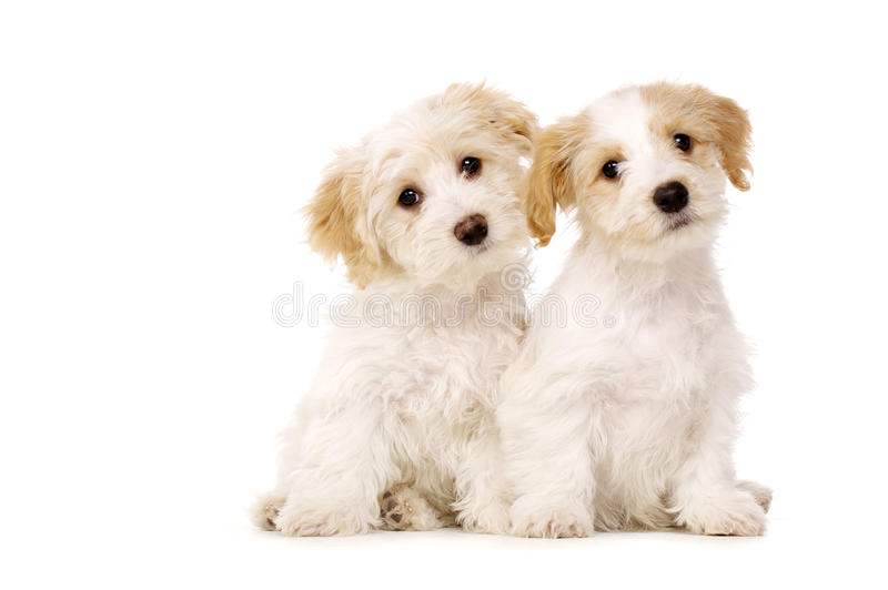 Download Two Puppies Sat Isolated On A White Background Stock Photo - Image: 28900336