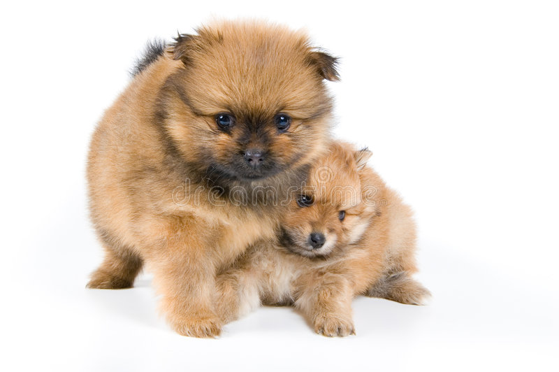 Download Two Puppies Of The Spitz-dog In Studio Stock Image - Image: 4668275