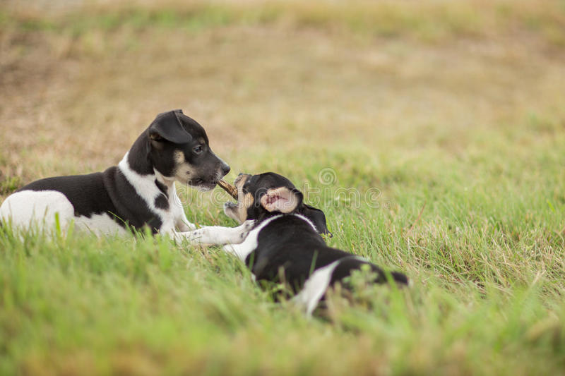 Two puppies and a stick royalty free stock photo
