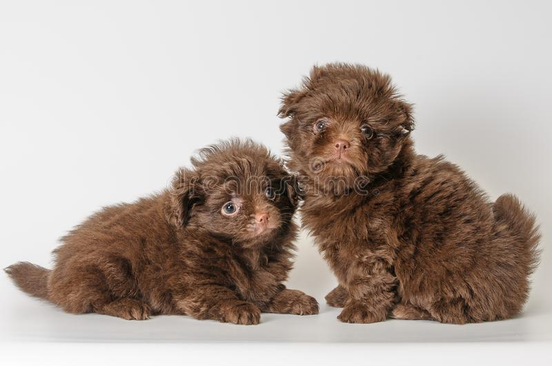 Two puppies in studio royalty free stock photo