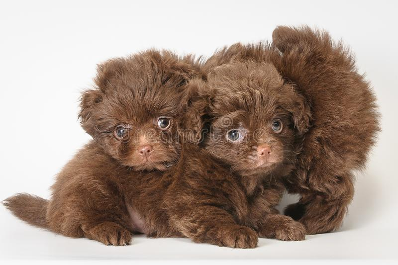Two puppies in studio stock image