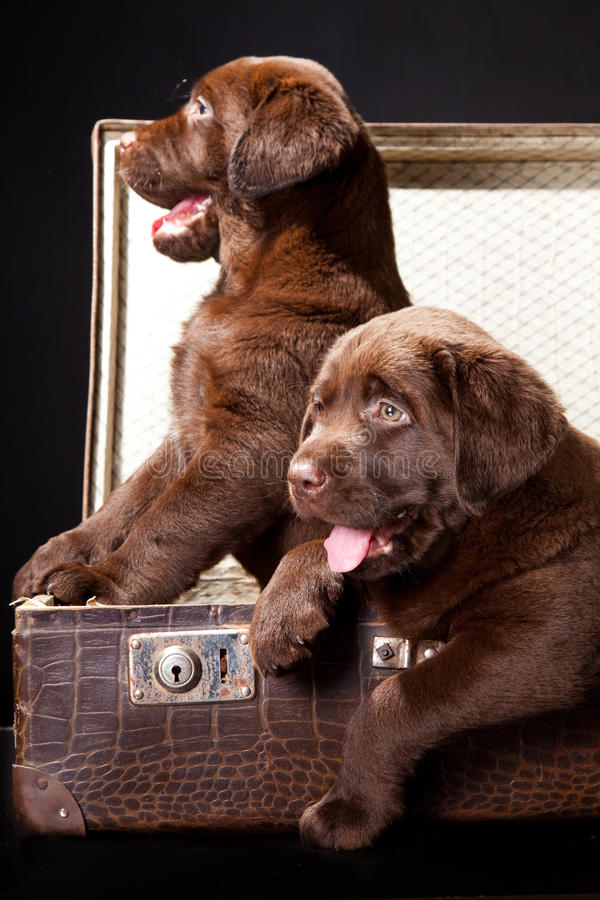 Two puppies in vintage suitcase royalty free stock photo