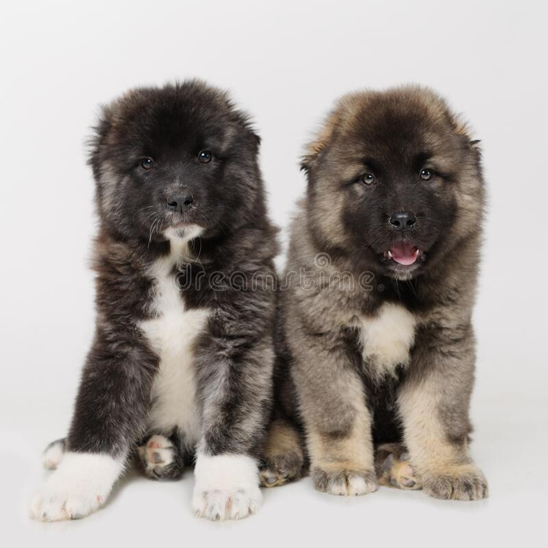 Two  puppies on a white background royalty free stock photos