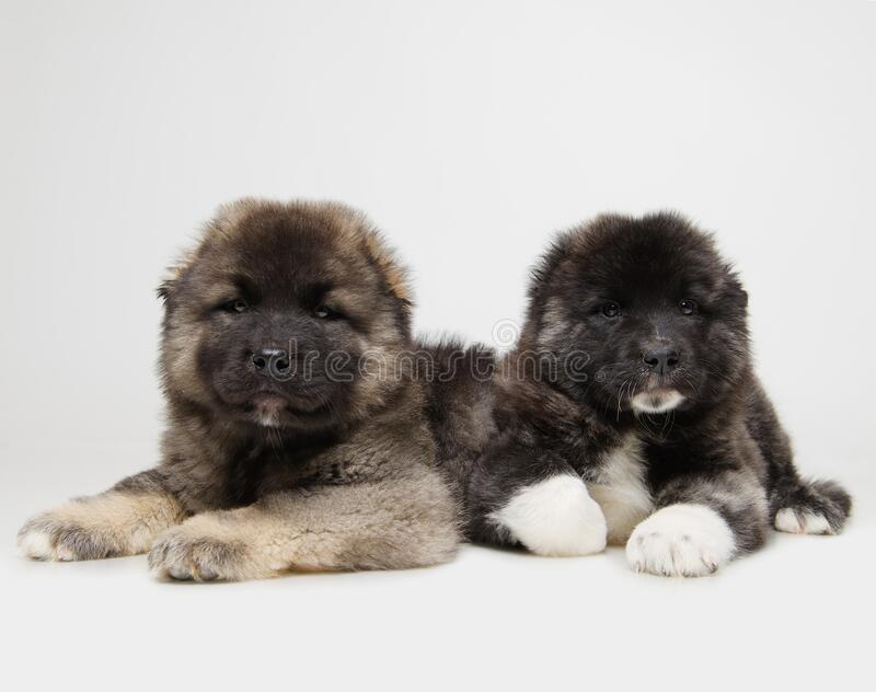 Two  puppies on a white background stock image