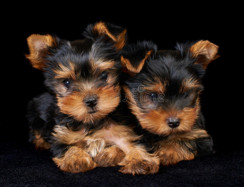 Download Two Puppies Of The Yorkshire Terrier On Black Stock Image - Image: 21807781