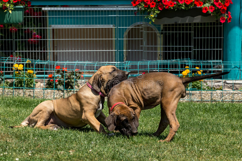 Two puppy of Fila Brasileiro (Brazilian Mastiff). Two puppy of Fila Brasileiro playing(Brazilian Mastiff) outdoor on green grass stock photography