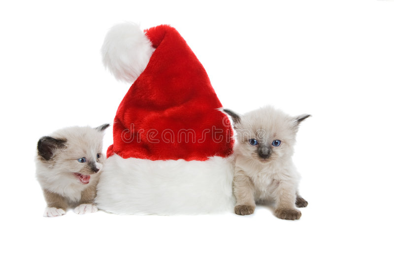 Download Two purebred Siamese stock image. Image of december, purebred - 7541215