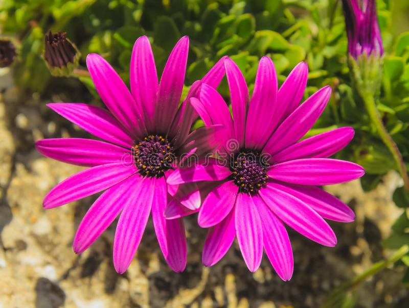 Purple african daisies. Two purple african daisies in the garden royalty free stock images