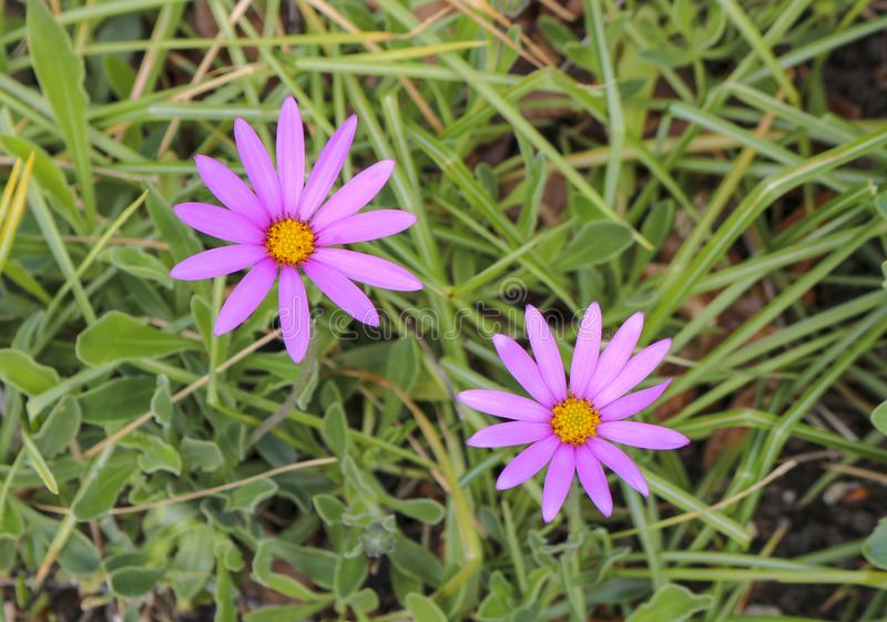 Two purple flowers in the grass stock photos