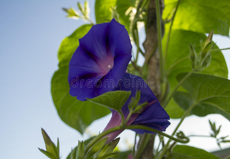 Two Purple Morning Glory Flowers. Two eloquent morning glory flowers in the early sun stock photos